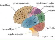 新研究表明常用智能手机将改变大脑形状功能