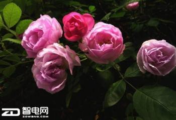 四月天寻觅蔷薇 带着撩人红你就可以出门了