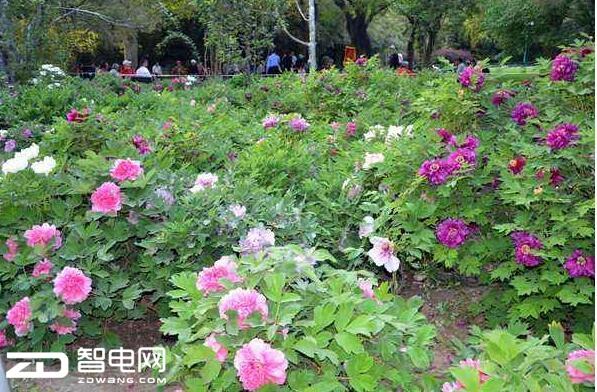 国色天香牡丹花开动京城 瞬间捕捉让照片变成艺术品